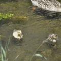 5月31日、この二羽には、この母ガモ