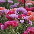 今が盛りの畑の花