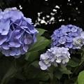 黒目川沿いの紫陽花?