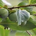 雨に濡れた柿の木