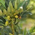 細葉柊南天(ほそばひいらぎなんてん)にスズメバチ(1)