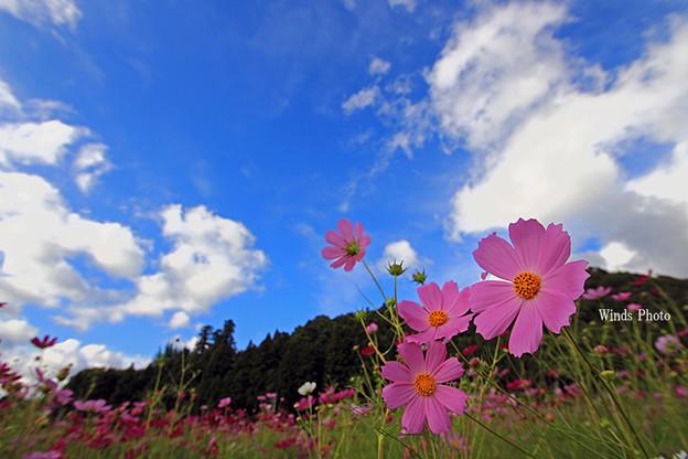写真: 青空とコスモス