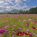 磐梯山とコスモス畑