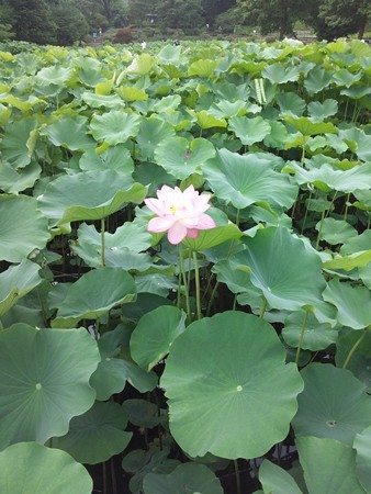 薬師池公園 蓮の花アップ