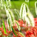 Photos: 彼岸花にネコジャラシ
