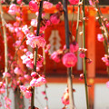 写真: Weeping plum