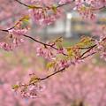 雨と桜と内房線