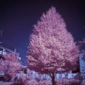 赤外線写真:昼下がりの公園