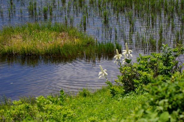 写真: 湿原に咲く