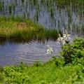 湿原に咲く