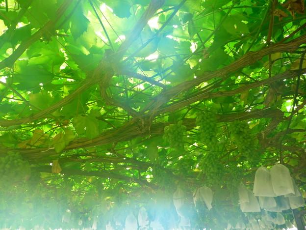 Photos: 真夏の果実