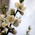 Photos: 街角の春