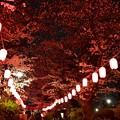 写真: 16中野通り夜桜2