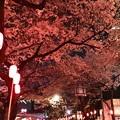 16中野通り夜桜4