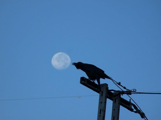 月をつつくカラス