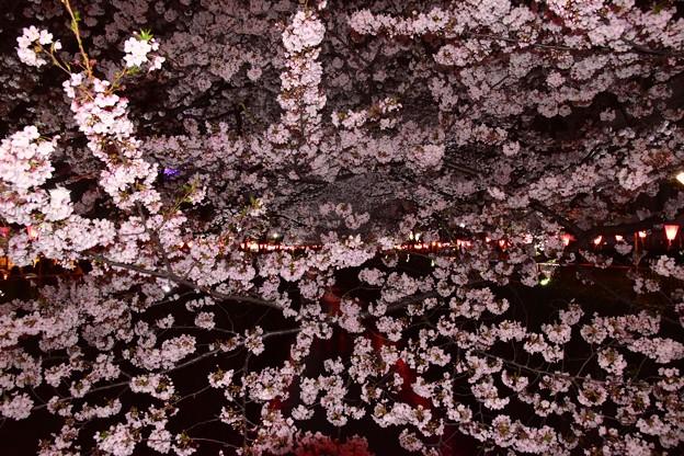 17中目黒夜桜3