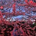17中目黒夜桜4