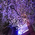 17中目黒夜桜12