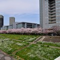 写真: 17多摩川桜2