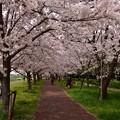 写真: 17多摩川桜3