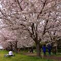 写真: 17多摩川桜4