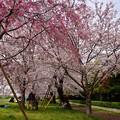 写真: 17多摩川桜5