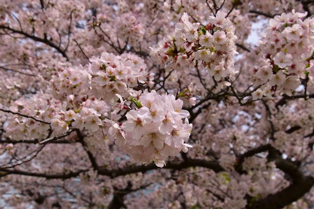 写真: 17多摩川桜6