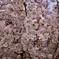 写真: 17多摩川桜7