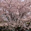 写真: 17多摩川桜8