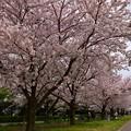 写真: 17多摩川桜9