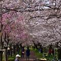 写真: 17多摩川桜11