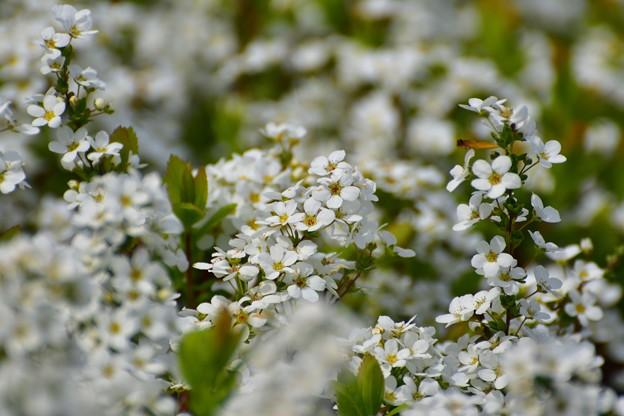 もてぎ白い花1