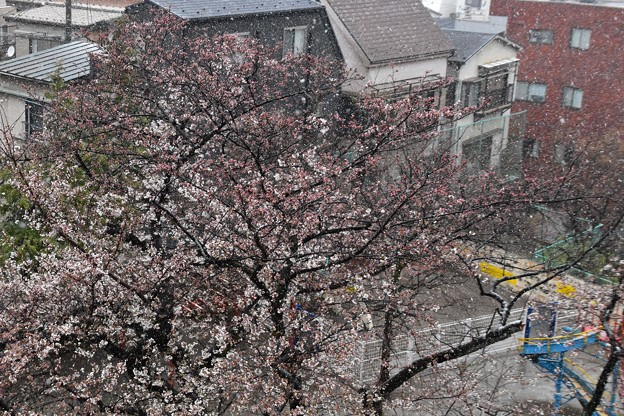 五分咲き桜に降る雪