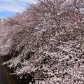 18東中野桜1