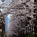 18東中野桜10