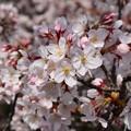 写真: 18東中野桜12