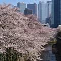 写真: 18東中野桜14