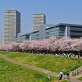 18多摩川桜3