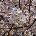 18多摩川桜7