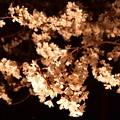 19高尾夜桜10