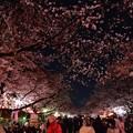 Photos: 19上野公園桜2