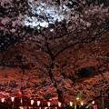 Photos: 19上野公園桜6