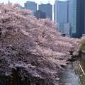 19東中野桜1