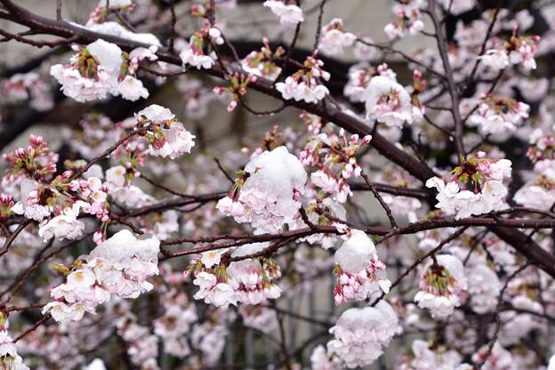 20東中野雪と桜