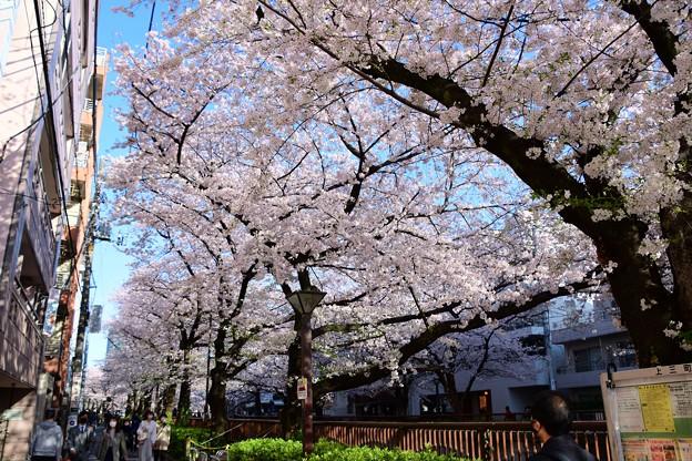 21中目黒桜