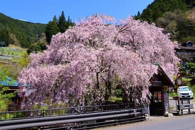 21奥多摩人里バス停桜