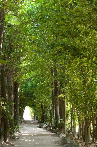 Photos: 備瀬のフクギ並木