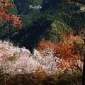 桜と紅葉不思議な光景