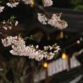 Photos: 雨の桜