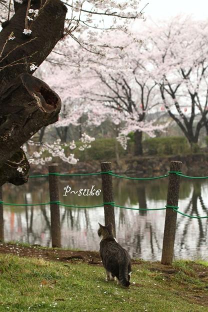 Photos: お花見にゃんこ